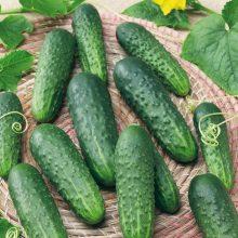 PROFI, Vegetable SEMO - Cucumber pickling Najada F1, p2340 (Cucumis sativus L.)