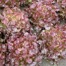 PROFI, Vegetable SEMO - Leaf lettuce Dubared, p3861 (Lactuca sativa L. var. capitata L.)