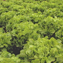 PROFI, Vegetable SEMO - Leaf lettuce Dubagold, p3863 (Lactuca sativa L. var. capitata L.)
