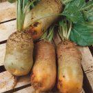 HOBBY, Zelenina – Řepa krmná Bučiansky žltý valec, 3570