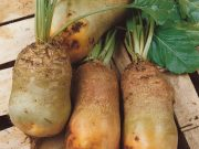 Osivo a semena zeleniny - novinky 2020/21 - Řepa krmná Bučiansky žltý valec (3570)