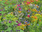 Osivo a semena květiny letničky a trvalky - novinky 2020/21 - Víceletá směs pro opylovače (9979)