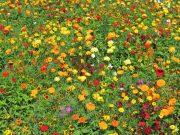 Osivo a semena květiny letničky a trvalky - novinky 2020/21 - Tisíce světel (9982)