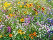 Osivo a semena květiny letničky a trvalky - novinky 2020/21 - Pestré léto (9983)
