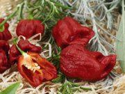 Hobby novinky v sortimentu - Paprika roční Carolina Reaper (2570)