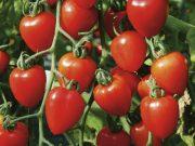 Hobby novinky v sortimentu - Rajče tyčkové Gardenberry (3268)
