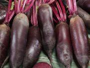 Hobby novinky v sortimentu - Řepa salátová Karkulka (3510)