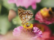 Hobby novinky v sortimentu - Směs pro motýly (9947)
