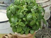 Hobby novinky v sortimentu - osivo a semena bylinek SEMO