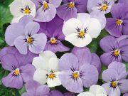 Hobby novinky v sortimentu - osivo a semena květiny trvalky SEMO