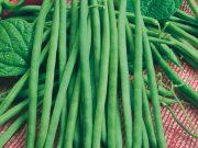 Osivo a semena zeleniny - novinky 2019/20 - Fazol obecný keříčkový Hawaii (0915)