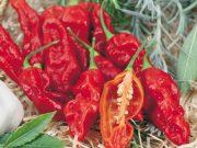 Osivo a semena zeleniny - novinky 2019/20 - Paprika roční Bhut Jolokia (2571)