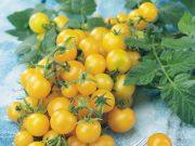Osivo a semena zeleniny - novinky 2019/20 - Rajče tyčkové Sunlemon F1 (3245)
