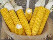 Kukuřice na siláž a zrno ZELSEED