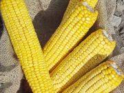 Kukuřice na siláž a zrno - ZELSEED ZE Karuzel F1, p1784