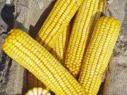 Kukuřice na siláž a zrno - ZELSEED ZE Zelma F1, p1785