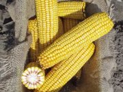 Kukuřice na siláž a zrno - ZELSEED ZE Hilda F1, p1786