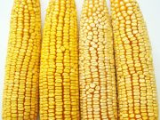 Kukuřice na siláž a zrno - ZELSEED ZE Zelstar F1, p1787