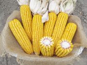 Kukuřice na siláž a zrno - ZELSEED ZE Otis F1, p1788