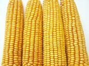 Kukuřice na siláž a zrno - ZELSEED ZE Edox F1, p1789