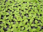 Prodej sazenic zeleniny, bylinek a květin je od letošního roku zrušen