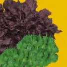 HOBBY, Zelenina – Perila křovitá Perila, 0135