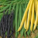 HOBBY, Zelenina – Fazol obecný keříčkový Směs barev, 0928