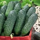 HOBBY, Zelenina – Okurka setá nakládačka Dafne F1 (SM 5340), 2338