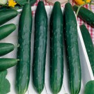 HOBBY, Zelenina – Okurka setá salátová hadovka Avantgarde F1, 2429