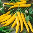 HOBBY, Zelenina – Paprika roční Kristián, 2563