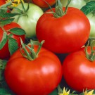 HOBBY, Zelenina – Rajče keříčkové Diana, 3102