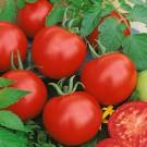 HOBBY, Zelenina – Rajče keříčkové Karla, 3106
