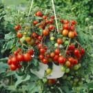 HOBBY, Zelenina – Rajče keříčkové Tumbling Tom Red, 3138