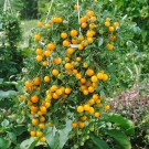 HOBBY, Zelenina – Rajče keříčkové Tumbling Tom Yellow, 3139