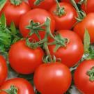 HOBBY, Zelenina – Rajče keříčkové Darinka F1, 3151
