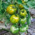 HOBBY, Zelenina – Rajče tyčkové Green Zebra, 3261