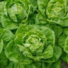 HOBBY, Zelenina – Salát hlávkový Bremex, 3765