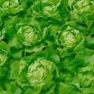 HOBBY, Zelenina – Salát hlávkový Cézaros, 3766