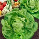 HOBBY, Zelenina – Salát hlávkový Král Máje 1, 3805