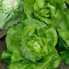 HOBBY, Zelenina – Salát hlávkový Maršálus, 3828