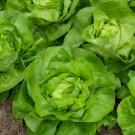 HOBBY, Zelenina – Salát hlávkový Merkurion, 3831