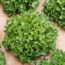 HOBBY, Zelenina – Salát listový směs typu Bowl, 3873