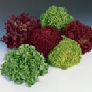 HOBBY, Zelenina – Salát listový barevná směs, 3876