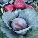 HOBBY, Zelenina – Zelí hlávkové Pourovo červené, 4302