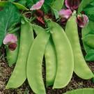 HOBBY, Zelenina – Hrách setý cukrový Sweetsalome, 1095
