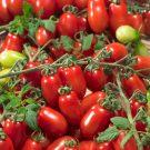 HOBBY, Zelenina – Rajče tyčkové Valdo, 3272