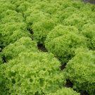 HOBBY, Zelenina – Salát listový Zlatava, 3867