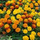 HOBBY, květiny letničky - Aksamitník rozkladitý, 9010 (Tagetes patula L.)