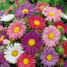 HOBBY, květiny letničky - Astra čínská, 9020 (Callistephus chinensis)