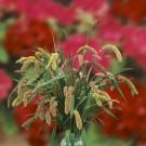 HOBBY, květiny letničky - Bér, 9040 (Setaria viridis)